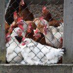 Favorisons l'agriculture biologique, avec des œufs frais