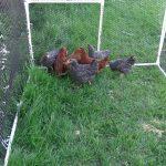 Le grillage à poules, un gage de sécurité